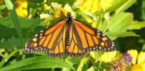 c Monarch Butterfly GMO crops