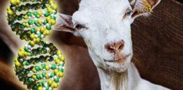 goat DNA