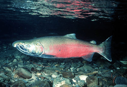 Khake salmon
