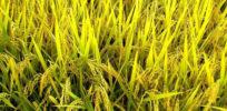 golden rice grains
