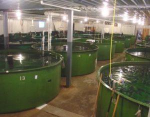 Salmon in tanks e