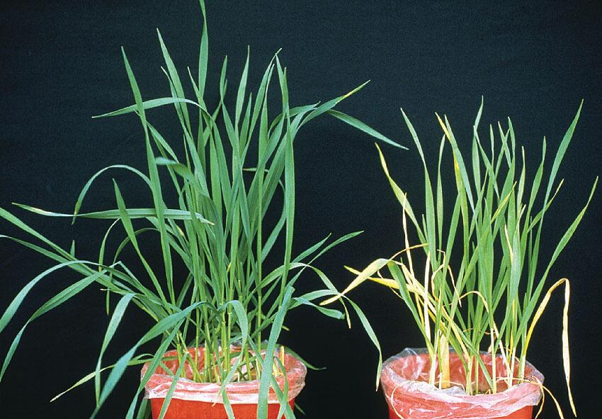 nitrogen deficient wheat