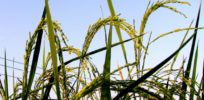 Panicle of GE Weedy rice in our field trial
