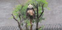 livescience panda