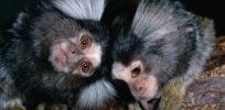 marmosets rod william