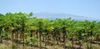 papaya farm x