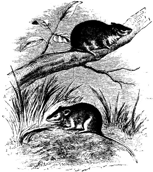 px Antechinus Mus Mivart