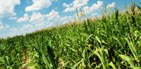 cornfield sky