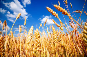 wheat_field_with_clouds_70226983
