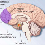 Prefrontal-cortex-by-National-Institute-of-Mental-Health