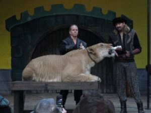 Ligers are popular attractions at circuses and renaissance faires (CREDIT: Zoe French/Flickr).