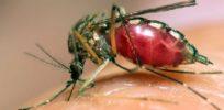 dengue fever x