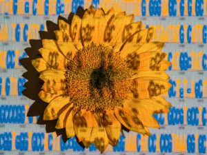 Sunflower image by Craig Cutler