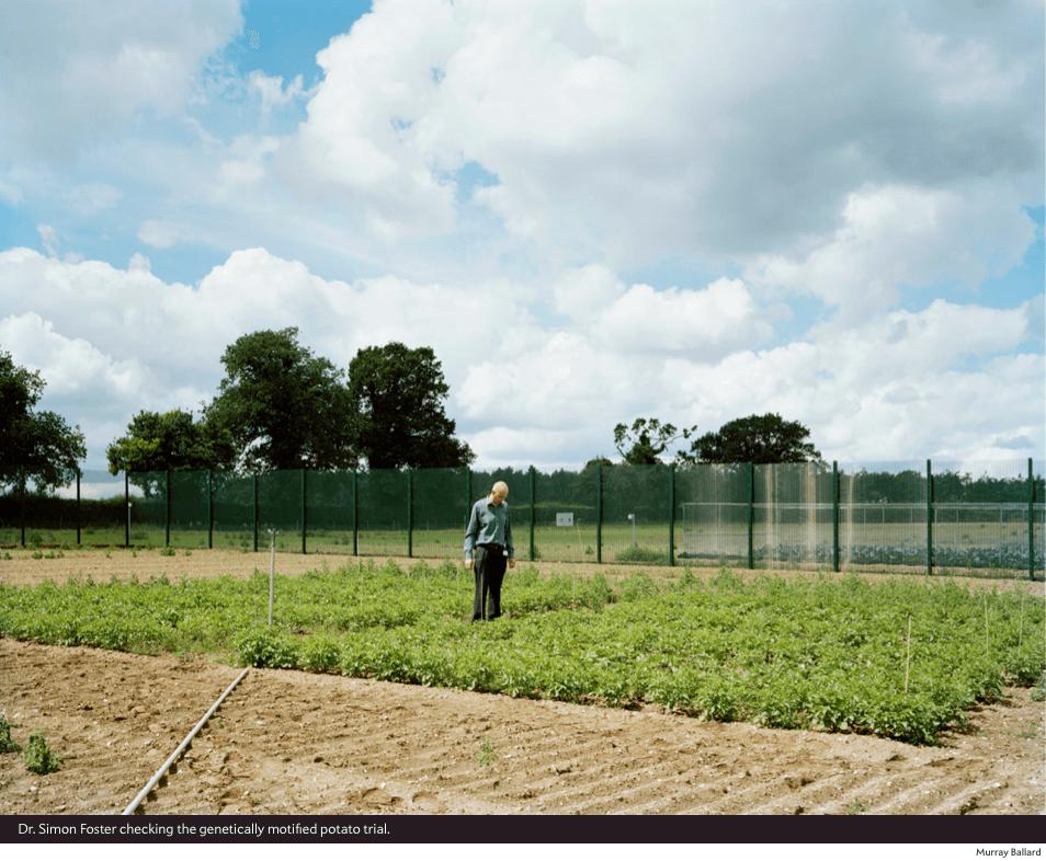 Dr. Simon Foster checking the GE potato trial.
