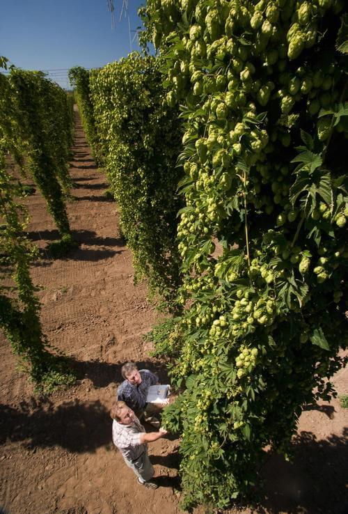 hops flavonoids may improve cognitive function