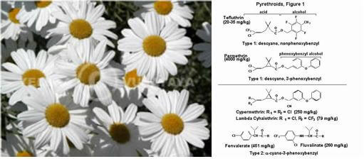 what pyrethrum is