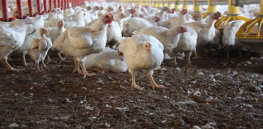 px Chicken Farm