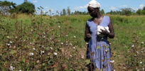 Uganda cotton fields blooming large