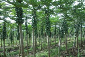 alberto-belmes-papaya-field