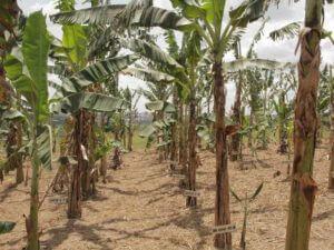 ugandan-gm-banana-plantation