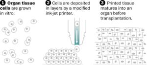 Bioprinted organs