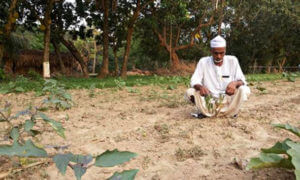 Abul Baten's Bt brinjal crop died prematurely, causing huge financial losses, claims Ho.