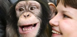 chimpanzee and human