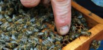 hungary bee