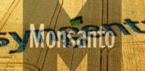 syngenta field monsanto