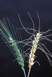 Fusarium head blight of wheat (right) reduces yield and leads to rejected loads because of the DON mycotoxin (Wikimedia image)