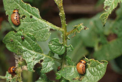 Colorado Potato Beetle Damage (photo by Jeff Hahn, UMN Extension)