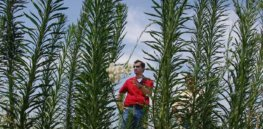 Glyphosate ban could fuel spread of invasive plant species, conservationists fear