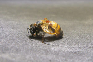 Monsanto is exploring the use of RNA interference to kill a mite that may play a role in bee die-offs. (Monsanto)