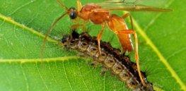 px Aleiodes indiscretus wasp parasitizing gypsy moth caterpillar