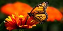 monarch b
