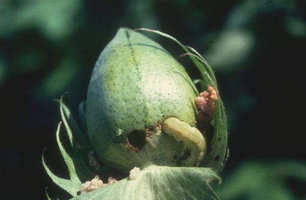 Bollworm damage in green boll