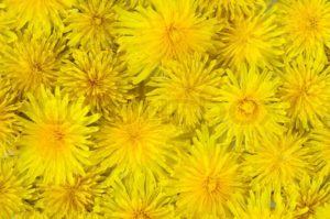 1902727-abstract-background-of-blooming-yellow-dandelion-closeup