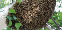 swarm of honey bees