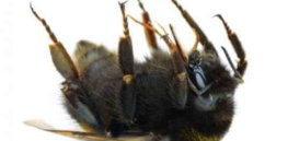 dead bumble bee x