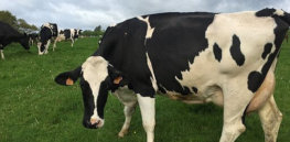 Dairy cow in Normandy