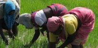 India Sights Culture Planting Rice Paddy e