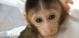 Making monkeys just to suffer: Is new autism model ethical?