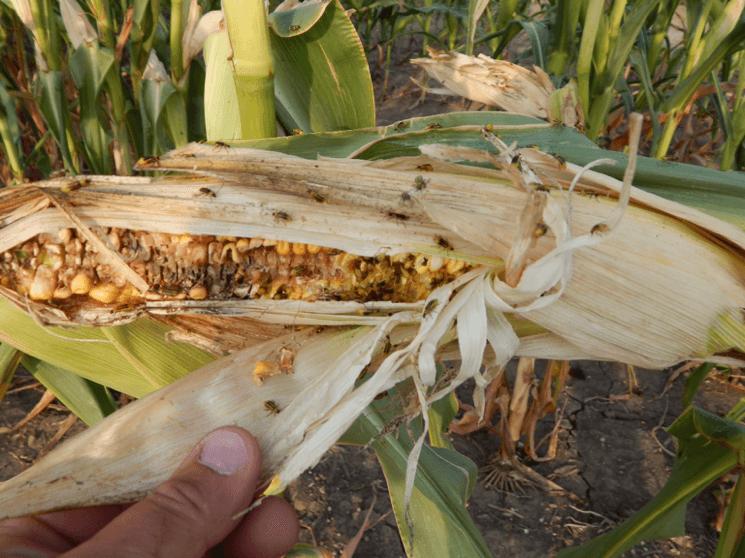corn rootworm beetles