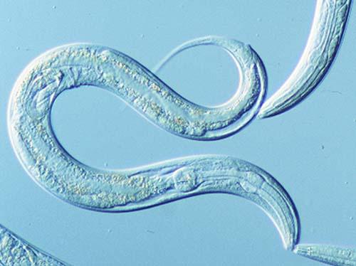 C. elegans is a model organism for molecular and developmental biology