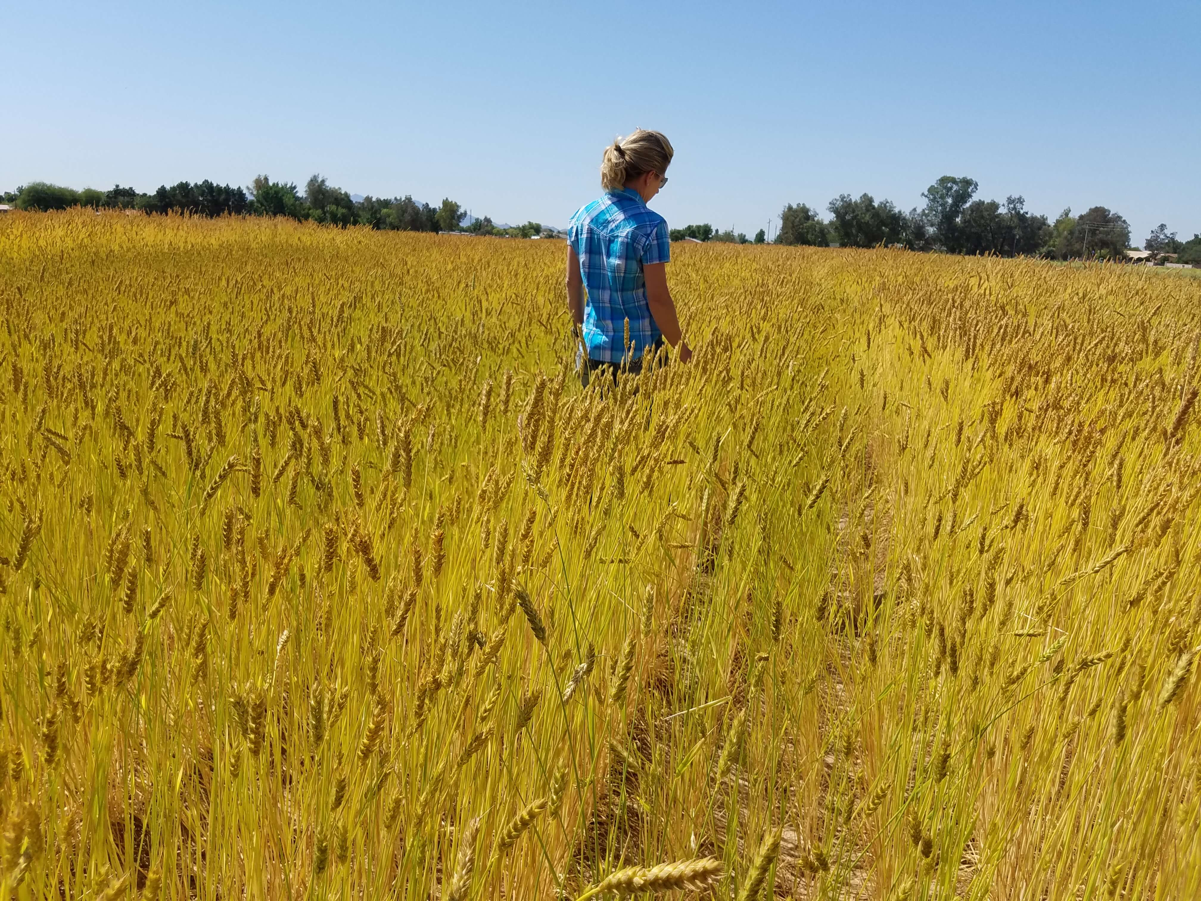 Janna in Wheat 5.1.16