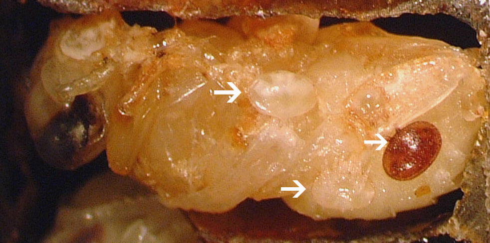 Reproductive Varroa mite on a developing pupa (reddish oval) and two immature Varroa (opaque ovals)