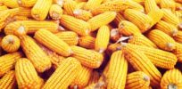 Did National Academies report understate yield benefits of GMO crops?