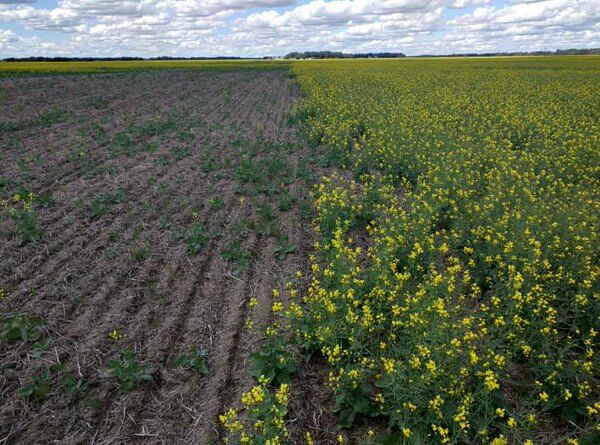 """Neonic seed treateds in canola (right), and untreated (left) . Flea beetle damage."""" Photo: Gregory Sekulic, CC BY 2.0"""