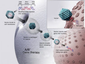 How AAV gene therapy works