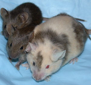 chimericmousewithpups